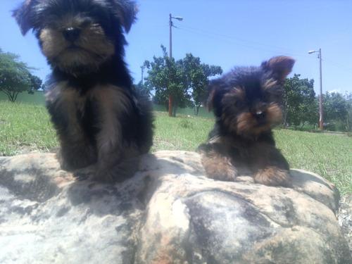 yorkshire terrier cachorras