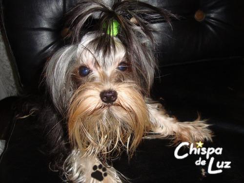yorkshire terrier, cachorros excelente calidad