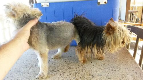 yorkshire terrier con pedigree -oferta día del padre