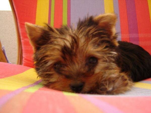 yorkshire terrier de bolsillo !! mini super