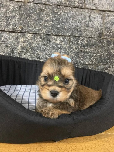 yorkshire terrier gold