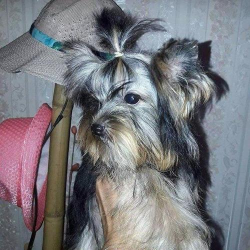 yorkshire terrier hembras