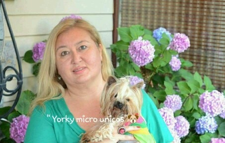 yorkshire terrier macho  compara antes d comprar !