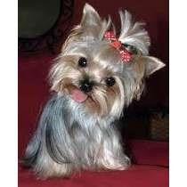 yorkshire terrier mini hembra