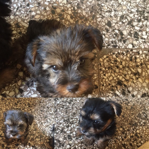 yorkshire terrier mini machito último