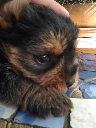 yorkshire terrier mini  machito ya !!