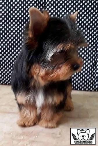 yorkshire terrier minúsculo - excelente linhagem - cbkc/fci
