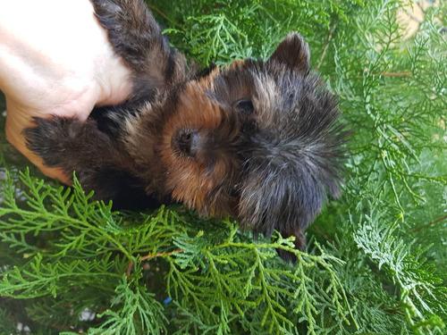 yorkshire terrier  super  minis
