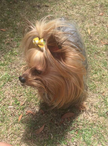 yorkshire terrier toy para monta