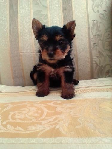 yorshirer terrier (yorki)