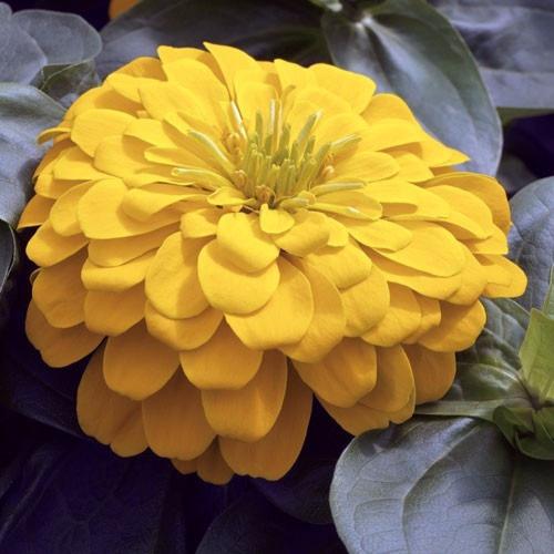 zinnia canary bird  zinnias zinia zinias - flor - sementes