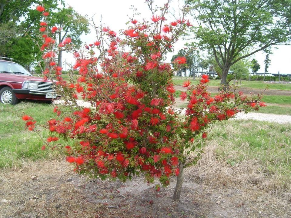 Zucar plumerillo rojo arbusto floral nativo parque for Arbol rojo jardin
